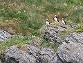 Atlantic puffin (Fratercula arctica).jpg