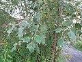 Atlas roslin pl Topola biała 10459 7635.jpg