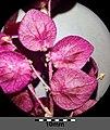 Atriplex hortensis sl27.jpg