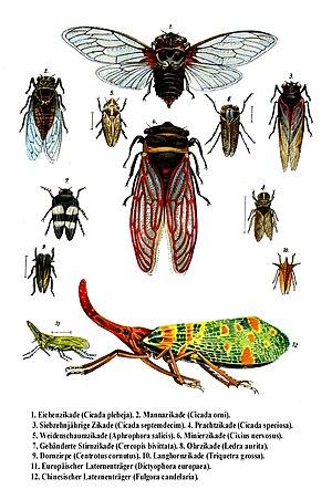 """""""Auchenorrhyncha"""" species (cicadas a..."""