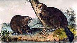 Audubon-castor 1854-RZ.jpg