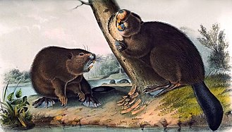 Pacific Fur Company - A depiction of North American beaver, the main source of animal pelts collected by the PFC
