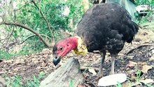 File:Australian Brush-turkey.webm