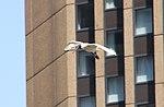 Australian White Ibis in flight 2 (30382877570).jpg
