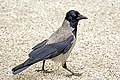 Austria-00281 - Hooded Crow (9198342029).jpg