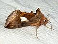 Autographa bractea - Gold spangle - Металловидка красно-бурая (41057702252).jpg