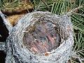 Baby Birds (3630762752).jpg