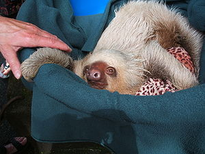 Hoffmann's two-toed sloth - Young sloth being raised in a wildlife rescue centre on the Gulf of Dulce, Costa Rica
