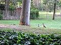 Baby Ducks! (6330778811).jpg