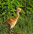 Baby Sandhill Crane - Flickr - Andrea Westmoreland (1).jpg