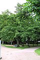 Bad Oldesloe - Stieleiche am Exer (Naturdenkmal).JPG
