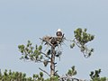 Bald Eagle (6846827155).jpg