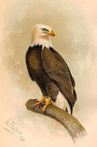 Robert Ridgway - A chromolithograph of a bald eagle by Robert Ridgway, from A.K. Fisher's The hawks and owls of the United States in their relation to agriculture (US Dept of Agriculture, 1893)