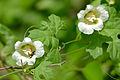 Balsam Apple (Momordica balsamina) (16350631377).jpg