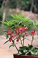 Balsam flowers 04.jpg