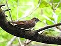 Banded bay cuckoo (ചെങ്കുയിൽ ) - 8.jpg