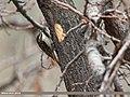 Bar-tailed Tree-creeper (Certhia himalayana) (15893173781).jpg