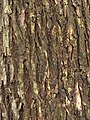 Bark of Ulmus americana.jpg