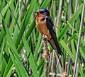 Barn swallow Point Pelee NP 2014.jpg