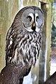 Bartkauz - Great Grey Owl (Strix nebulosa) - Weltvogelpark Walsrode 2012-006.jpg