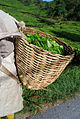 Basket greentea 0431.jpg