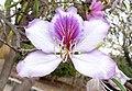 Bauhinia variegata kz1.JPG