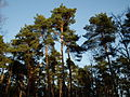 Baumgruppe Unterer Dossenwald.JPG