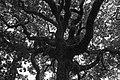 Beard Tree (47498692).jpeg