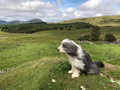 Bearded Collie sitting on a hill on a windy day in Wales.png