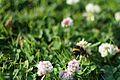 Bee (19560043371).jpg