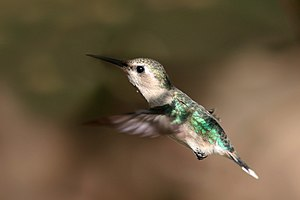 Bee hummingbird (Mellisuga helenae) female in flight.jpg
