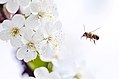 Bee with flower in action (Unsplash).jpg