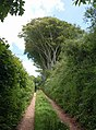 Beeches by the track - geograph.org.uk - 1358286.jpg