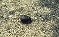 Beetle . Dos mares. Southwest Spain. Tarifa (37498401390).jpg
