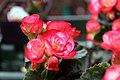 Begonia hiemalis Janny Fringed 1zz.jpg