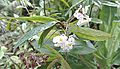 Begonia parilis (18184960511).jpg
