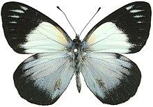Sưu tập Bộ cánh vẩy 2 - Page 77 220px-Belenois_margaritacea_kenyensis