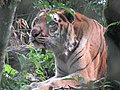 BengalTiger zoo.jpg