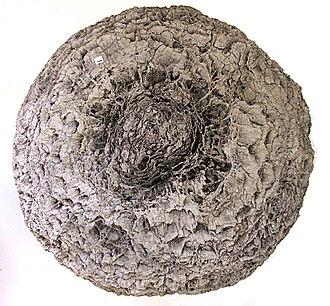 Bennettitales - Image: Bennettitales stump top