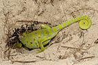 Benny Trapp Chamaeleo africanus gräbt Nest.jpg