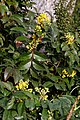 Berberis aquifolium-Mahonia faux houx-20210308.jpg