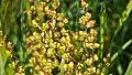 Berberis flower buds.jpg