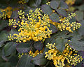Berberis repens - fleurs.jpg
