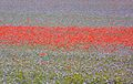 Bessé 03, Poppies and Lucerne (4669402158).jpg
