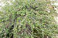 Betula nana - GBA Viote 08.jpg