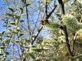 Biene Weide.JPG