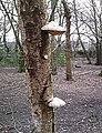 Birch Polypore - Thundersley Great Common - geograph.org.uk - 537087.jpg