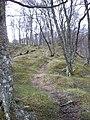Birch wood by Abhainn Rath - geograph.org.uk - 1702186.jpg