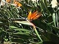 Bird of paradise flower at the Pena Palace (49838764167).jpg