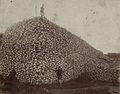 Bison skull pile.jpg